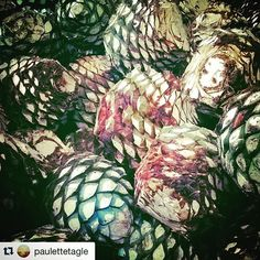 #tequila @paulettetagle with @repostapp.  ・・・  Agave Azul en #Tequila