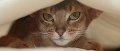 De baas zijn over je kat? Veel eigenaren zijn er van overtuigd dat ze hun kat moeten laten zien wie de baas is, of dat ze 'boven de kat' moeten staan. Een veelgehoorde opvatting, die echter tot grote welzijnsproblemen kan leiden.