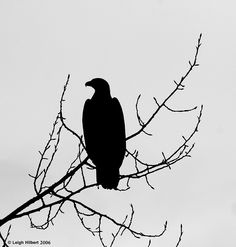 Bald Eagle Silhouette, via Flickr.