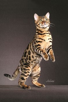 Bengal Cat... Mine looks just like this with the markings on back being a bit smaller.  And I found him at a local animal shelter.  Best cat I ever owned!