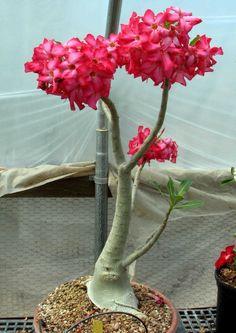 Desert Rose Plant, Planting Flowers, Flower Arrangements, Beautiful Flowers, Glass Vase, Deserts, Lily, Tropical, Plants