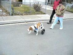 Build-A-Dog-Wheelchair that is Adjustable