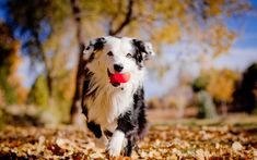Download wallpapers Border Collie, 4k, dogs, cute animals, autumn, pets, Border Collie Dog