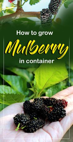 How to Grow Mulberry, Growing Mulberry tree in containers, Mulberries care, Pests problem. You can easily grow dwarf species of this plant in the container. Mulberry Plant, Mulberry Fruit, Mulberry Bush, Mulberry Tree, Growing Dahlias, Growing Herbs, Fast Growing, Growing Fruit Trees, Growing Tree