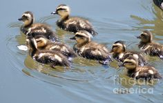 """"""" Hot chicks out for a swim """" prints,  framed or unframed, acrylic prints, canvas prints, metal prints, posters, greeting cards, ect. available now."""