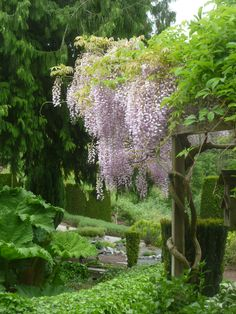 Pink Japanese Wisteria puts on a spectacular show of 18 in. fragrant rose-pink flower clusters that hang from a vigorous, climbing woody vine. Train on arbor, trellis or fence for best effect. An excellent patio cover. Deciduous.