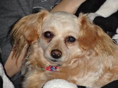 """This is little """"Angel"""" one of my foster dogs from SPIN (Standard Poodles in Need)"""