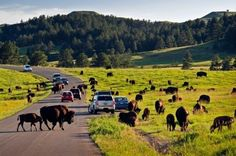 Driving among The Buffalo in Custer State Park - check