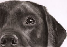 Black Labrador Drawing by ~dizzywater on deviantART