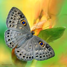 By: Jim Hoffman  #butterfly