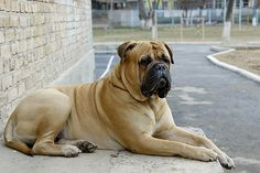 Bullmastiff This breed is known for its physical strength, protection instincts, courageousness, and extreme family loyalty. Clumber Spaniel, Bearded Collie, Bullmastiff, Bulldogs, American Pit Bull Terrier, Guard Dog Breeds, Best Dog Breeds, Sweet Cat, Mastiff Breeds