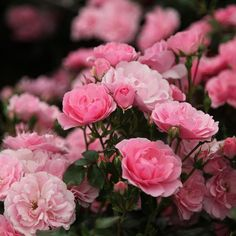 Buy rose Bonica (shrub) Rosa 'Bonica ('Meidomonac')' - Fully double pink flowers: Delivery by Crocus All Plants, House Plants, Bonica Rose, Queen Of Sweden, Shrub Roses, Buy Roses, Plantation, Shrubs, Perennials