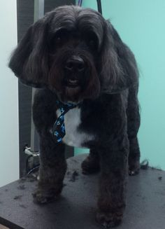 """Taz, after makeover... """"Nationally Ranked Award Winning Pet Stylists & Groomers! 5-Star Yelp Rating!""""  The UpScale Tail, Ltd., Pet Grooming Salon 630-632-TAIL www.theupscaletail.us"""