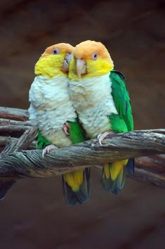 WHITE BELLIED  CAIQUES .. MY FAVORITE  BIRD