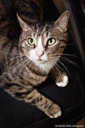 Cornelius is an adoptable Domestic Short Hair Cat in East Brunswick, NJ. Cornelius was turned into a shelter more than a year ago - we aren't sure why. He spent a few months there and was then in fost...