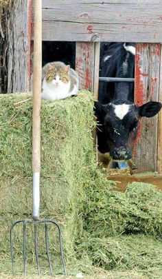 A cat sits on a hay bale at a dairy farm in Mendon, Utah. (Photo by Eli Lucero)