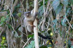 Black-tailed Marmoset (Callithrix melanura) photographed by Bernard DuPont at Parque Bahia das Pedras, Porto Cercado Area, Poconé, Mato Grosso, Brazil
