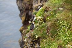 In search of the light: Spotting puffins in #Iceland #travel
