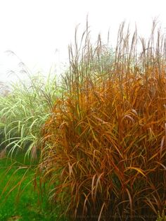 Carex grayi mace sedge grasses pinterest perennial for Hearty ornamental grasses