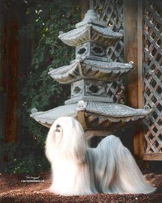 Lhasa Apso - The Lion Dog of Tibet