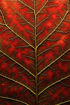 leaf, texture of backlit leaf