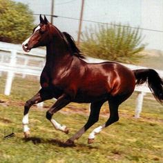 Undoubtedly one of the most beautiful, famous horses in Arabian horse history. Btw he's my horses grandfather Beautiful Arabian Horses, Most Beautiful Horses, Majestic Horse, All The Pretty Horses, Animals Beautiful, Arabian Stallions, Arabian Beauty, Horse World, Horse Pictures