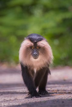 Lion-tailed Macaque by Sai Adikarla on 500px