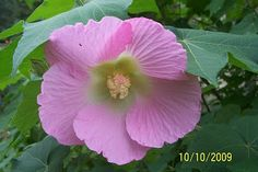 Hibiscus, Confederate Rose (single)