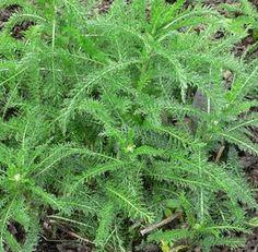 Dámy, pridajte si do kúpeľa aj túto rastlinu zo záhrady: Rastie úplne zadarmo, no tento účinok by mala poznať každá jedna žena!
