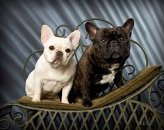 French Bulldog by Krissmaimage.com