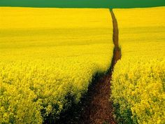Mustard Field, Germany.  Photographer: Tony Howell  ......... Beautiful Journey