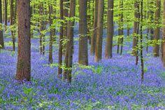 Bosque de Hallerbos, Bélgica - Los enclaves naturales más alucinantes de Europa
