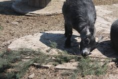 Until we started raising pygmy goats, we had no idea they loved to eat pine needles....ouch!!!!