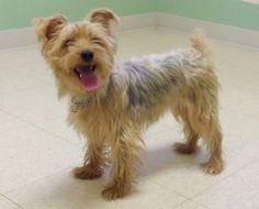 Libby is an adoptable Yorkshire Terrier Yorkie Dog in Milford, IA. Are you looking for a cuddle bug? Libby would be a great choice for you. She knows sit, stay, come, and lay down. Libby likes playing...