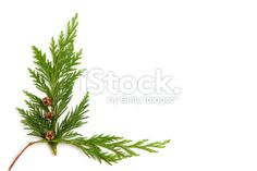 Cedar sprig frame Royalty Free Stock Photo