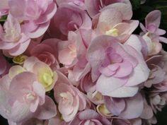 Hydrangea Beauty Papilon