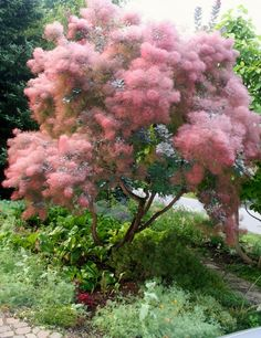 purple smoke bush (Cotinus coggygria 'Royal Purple').  this is the kind of form we'd be striving for so you can see underneath the canopy.