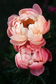 Peony / petals/ flowers / spring / garden. Download this photo by eleni koureas on Unsplash