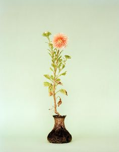 Diana Scherer - Grow plant in tight container, remove container, photograph results
