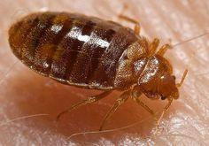 Bed bug (Cimex lectularius), parasite of humans - Chinche (Cimex lectularius), parásito de los humanos
