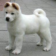 Akita #puppy. Beautiful!!