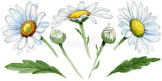 Wildflower chamomile flower in a watercolor style isolated.. Illustration about fall, blossom, drawn, flora, plant, element, chamomile, hand, decoration, silhouette - 109926307 Watercolor Images, Watercolor Flowers, Royalty Free Photos, Wild Flowers, Flora, Clip Art, Stock Photos, Fall, Illustration