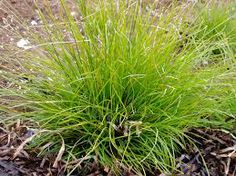 Carex eburnea: Ivory Sedge