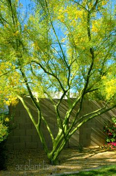 'Desert Museum' Palo Verde (Parkinsonia x 'Desert Museum'). This Palo Verde is natural hybrid, resulting from 3 other Palo Verde tree species Desert Trees, Desert Plants, Drought Tolerant Landscape, Landscaping Plants, Landscaping Ideas, Arizona Landscaping, Arizona Gardening, Xeriscape Plants, Inexpensive Landscaping