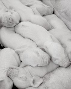 Sleeping Piggies  -  Original signed 8x10 black and white photograph. $25.00, via Etsy.