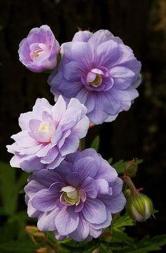 Geranium pratense 'Summer Skies' เจอราเนียม 'ซัมเมอร์ สกาย'