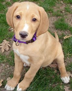 Baxter the Hound/ Lab Mix. I find this breed looks like a storybook image of a dog. So cute, with the floppy ears. Looks just like my butter scotch!