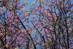 Almond trees are blooming in Sicily