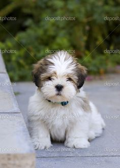 llaso apso puppies   Lhasa apso puppy   Foto Stock © Ruth Black #2262543