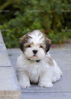 Lhasa apso puppy!